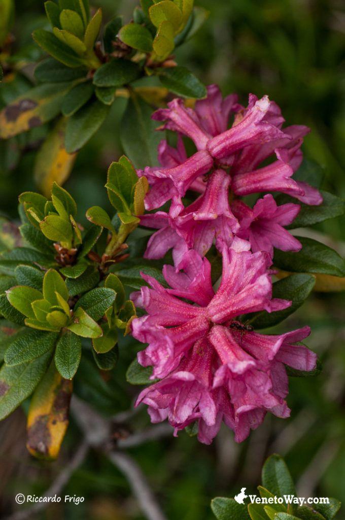 Rododendro - Dolomiti