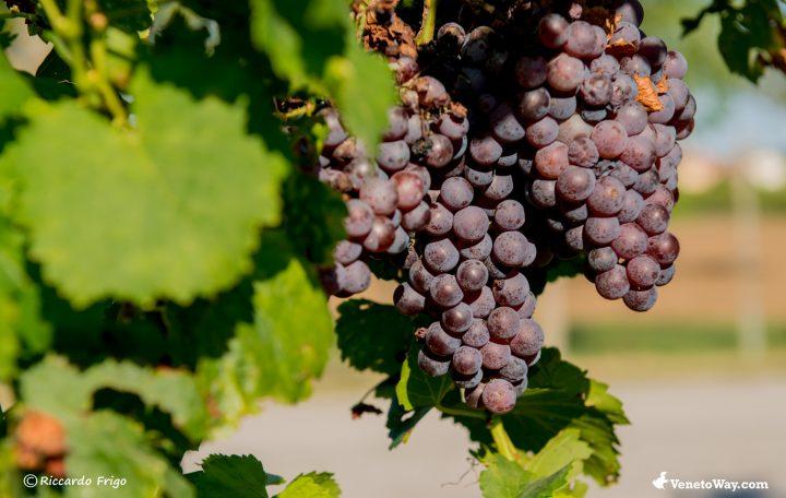 Il vino dei Colli Berici