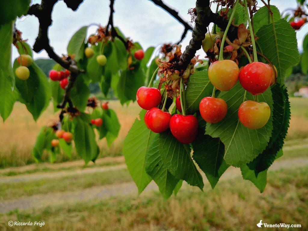 La ciliegia di Marostica