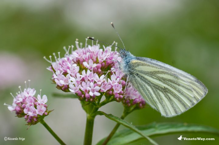 Achillea Millefoglie Rosa - Farfalla Licenide