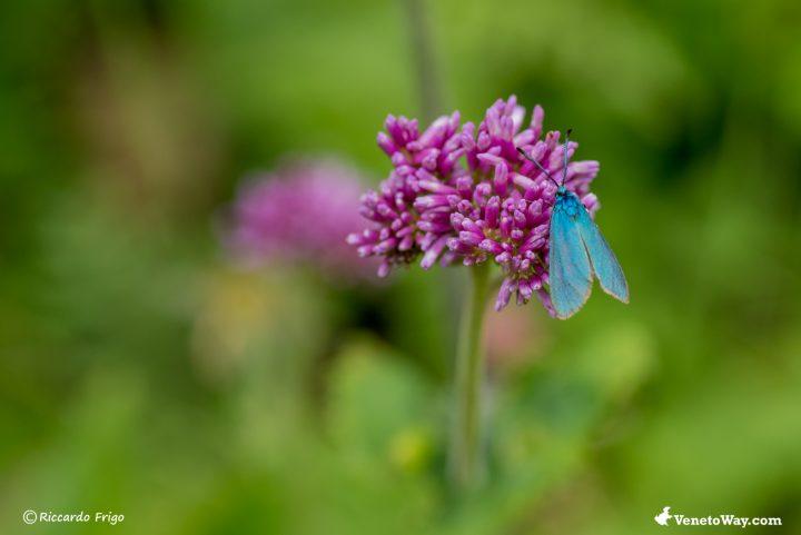 Adone Blu