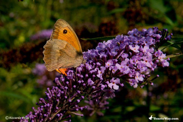 Farfalla Pyronia Cecilia